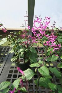 plectranthus-hilliardia-red-at-2