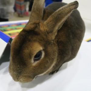 rabbit-afgs-sat-17-5