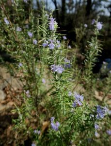 rosemary-blooms-feb13-17