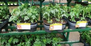 tomatoes-and-peppers-feb-22-17-2