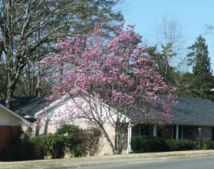 tulip-magnolia-feb13-171