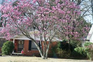 tulip-magnolia-feb13-172