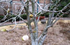 tulip-magnolia-feb6-17