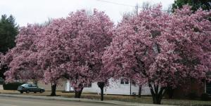 tulip-magnolias-jonesoboro-feb-17