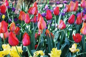 tulips-mar28-6