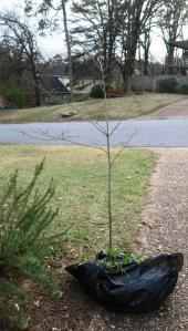 dogwood-transplant-mar4-17