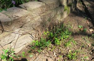 spirea-pruning-mar17-1