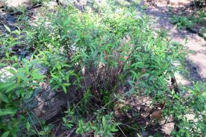 spirea-pruning-mar17-3