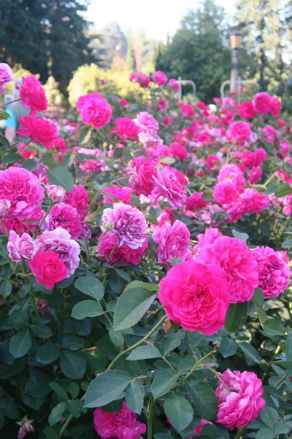Roses In Garden: IMGC, Japanese Garden, Rose Garden And Exploration