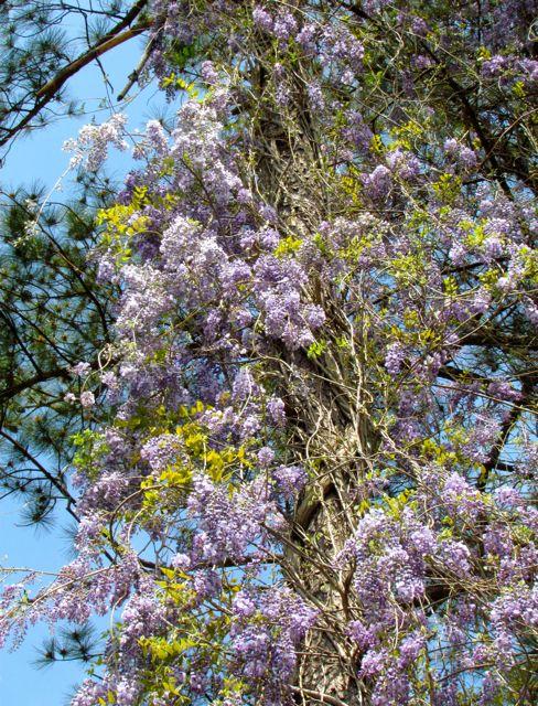 2-wisteria-close