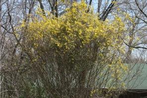 carolina jessamine 'trees' (1)