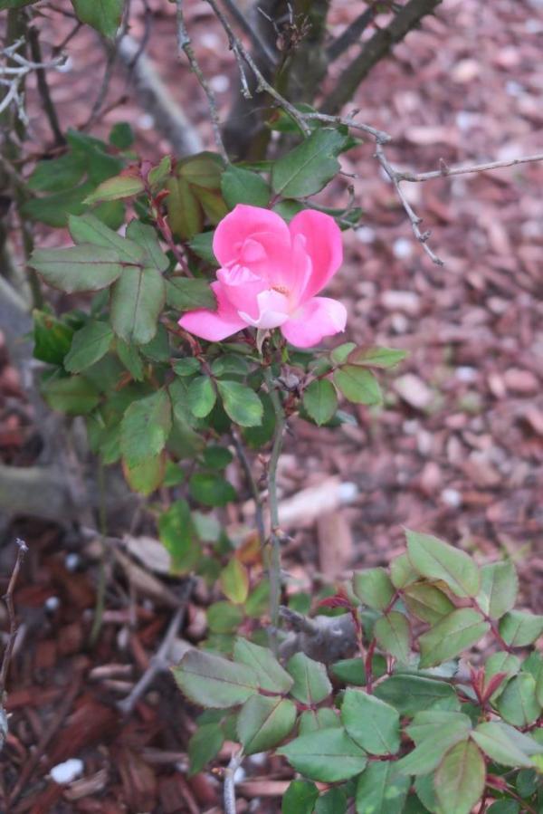 rose mar 18.18