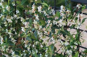 confederate jasmine calif. jcapr.12 (55)2