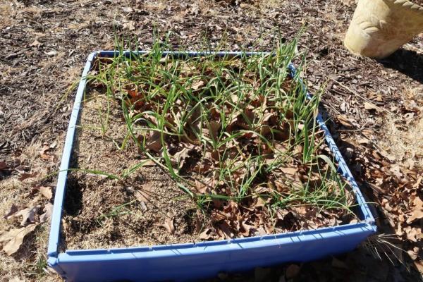 garlic and shallots.jan6.19